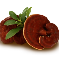 Fresh Ganoderma